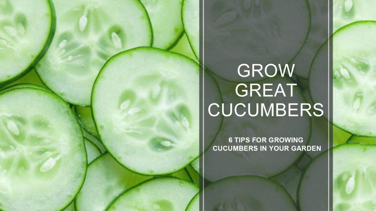 growing great cucumbers