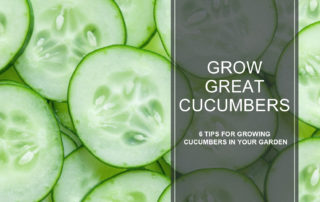 tips for growing great cucumbers