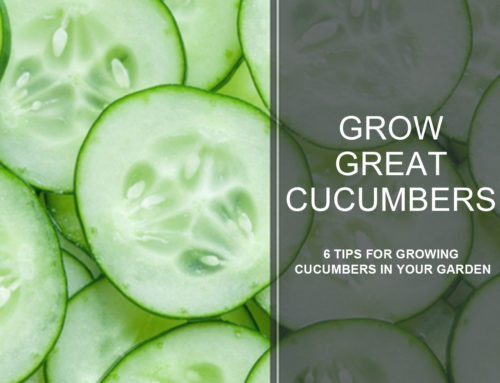Growing Great Cucumbers