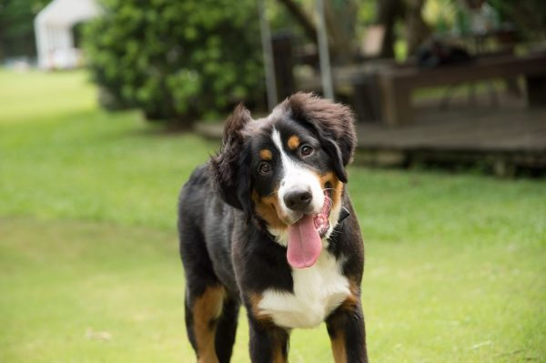 Bernese Mountain dog in a yard in Colorado