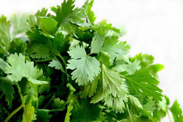 fresh garden cilantro