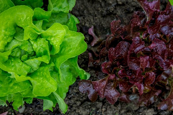green and purple lettuce in a garden in early spring