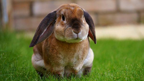 pet rabbit in a yard in Colorado