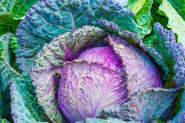purple and green cabbage growing in a garden