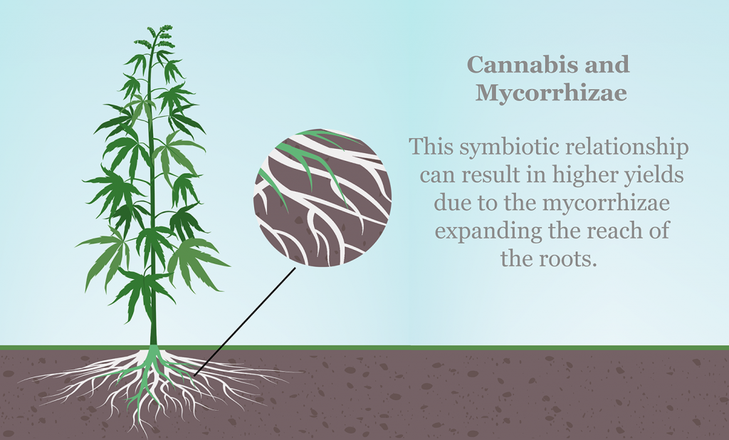 Graphic showing the relationship between mycorrhizal fungi and cannabis plant