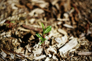 plant sprouting in wood chip mulch.