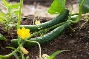 Cucumbers on a vine growing in a vegetable garden.