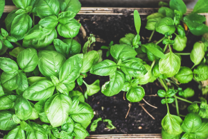 Basil plant growing in garden bed box.