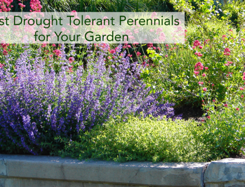 Best Drought-Tolerant Perennials for Your Garden
