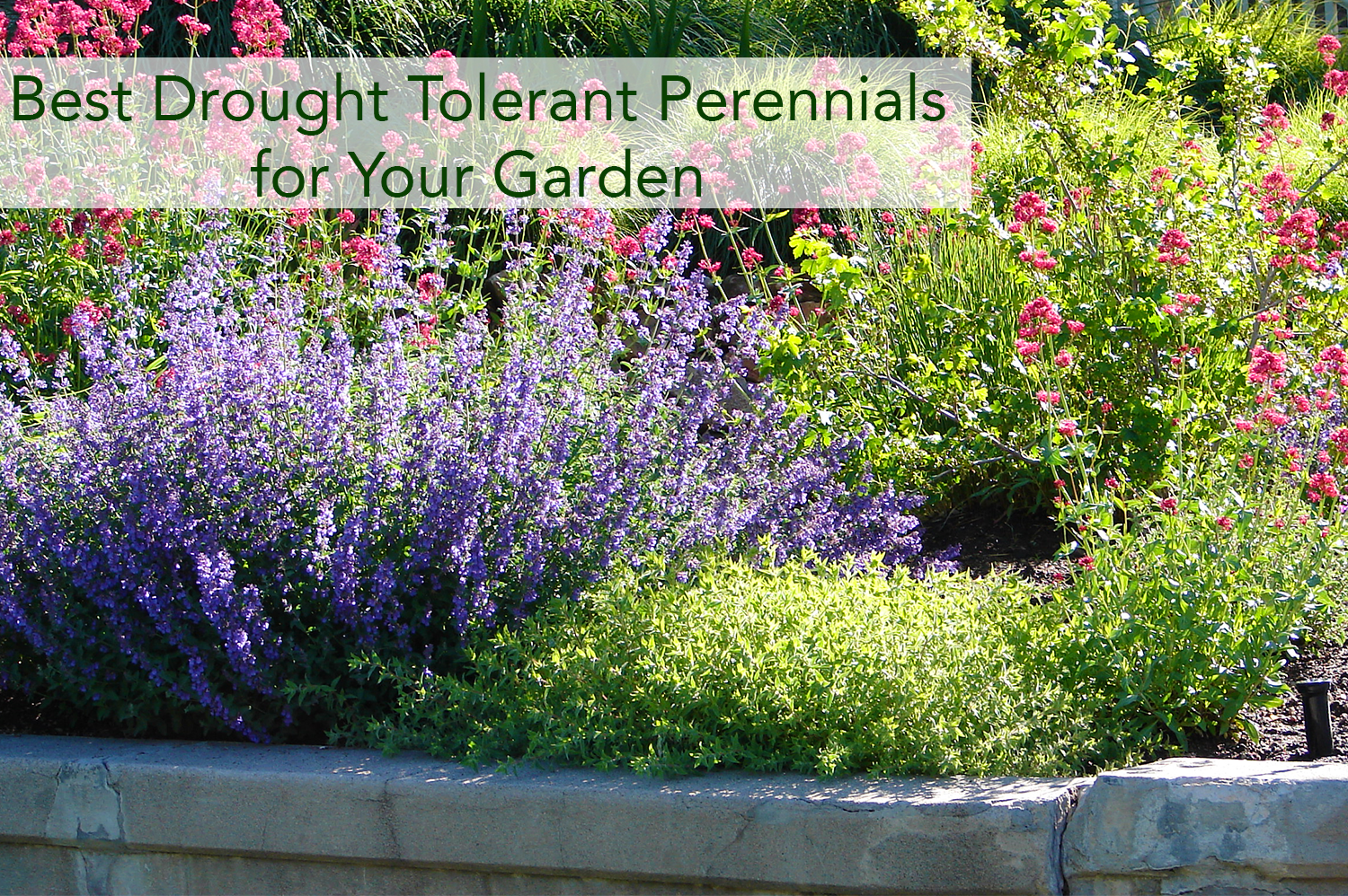 Drought tolerant perennials in a garden together.
