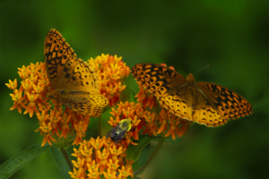 Close up photo of orange butterfly weed with two butterflies and a bee on the flowers.