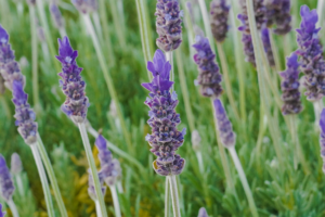 Close up picture of lavender in a garden.