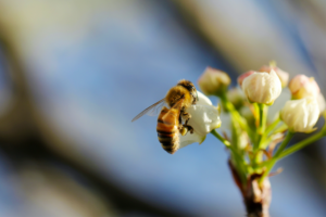 Up close of a bee on a cluster of white flowers.